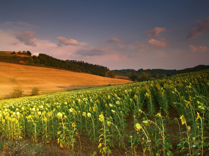 Toscane zonnebloemen avond